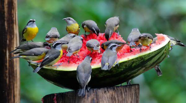 Cambacica menores aves do mundo