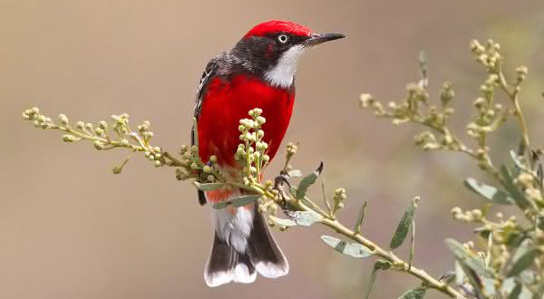Crimson Chat menores aves do mundo