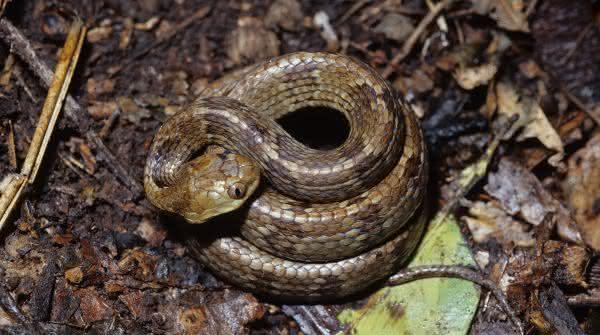 Jararaca-de-Alcatrazes entre as cobras mais venenosas do brasil