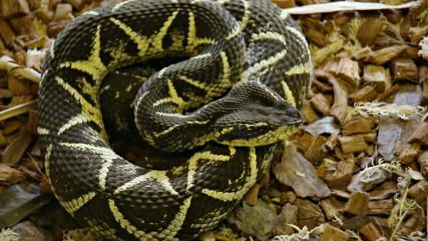 Jararacucu entre as cobras mais venenosas do brasil