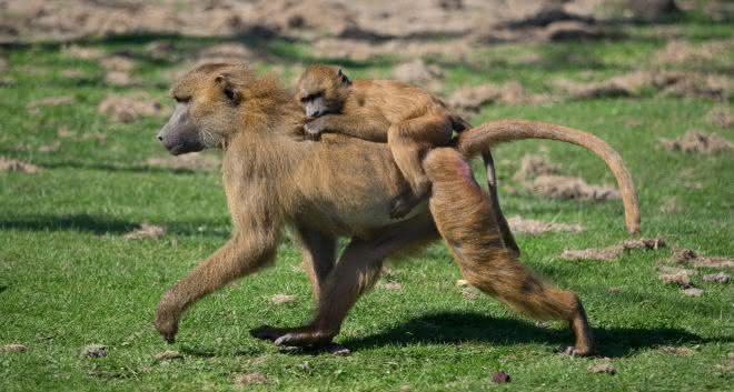 macacos entre os mamiferos