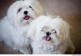 Maltés Mejores Razas de Perros Pequeños del Mundo