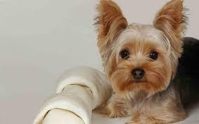 Yorkshire Terrier Mejores Razas de Perros Pequeños del Mundo