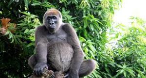 Gorila Cross River Top 10 Animales Con mayor Peligro de extinción del Mundo