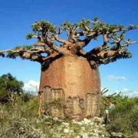 ჩვენი პლანეტის ყველაზე საოცარი ხეები