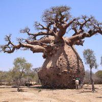 ბაობაბი - ერთ-ერთი ყველაზე უცნაური და უძველესი ხე