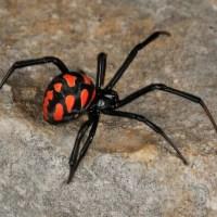 Топ 5 на на-отровните паяци