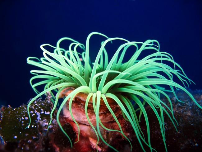 sea-anemone_