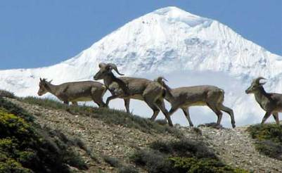 Himalayan blue sheep Zvieratá z Himalájí