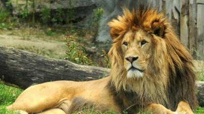 Lev Najväčší predátor na svete