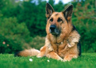 Nemecký ovčiak najlepších plemien psov určených na stráženie strazne psy strážny pes Strážne psy