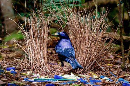 Bowerbirds Romantické zvieratá