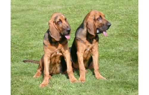 Bloodhound Psy s dobrým čuchom