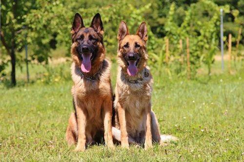 Nemecký ovčiak Ľahko trénovateľné psy