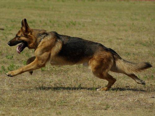 nemecky ovciak Psy s dobrým čuchom