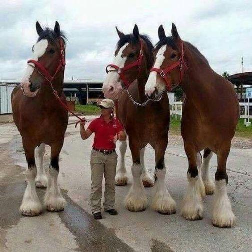 Clydesdaleský kôň Zoznam najsilnejších plemien koní na svete. Plemena koní ktoré majú neskutočnú silu .