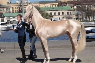 1. Akhal-Teke 10 najkrajších plemien koní z celého sveta najkrajši kôň na svete