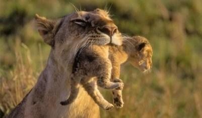 1. Matka leva, ktorá nosí mláďa