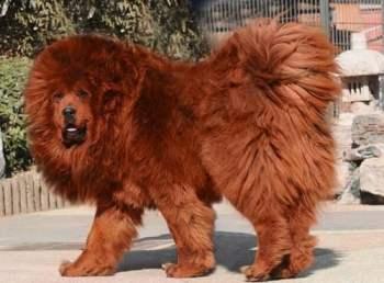 1. Tibetský mastif Exotické domáce zvieratá