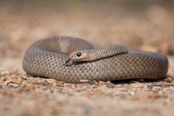 10. Východný hnedý had