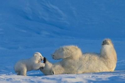 4. Detský ľadový medveď sa hrá so svojou matkou