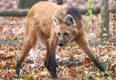 4. Maned Wolf