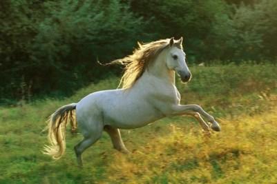 5. Andalúzsky kôň 10 najkrajších plemien koní z celého sveta najkrajši kôň na svete
