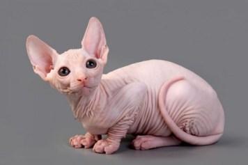 6. Sphynx kat