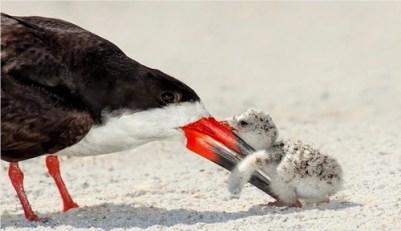 7. Black Skimmer Bird a Baby Chick