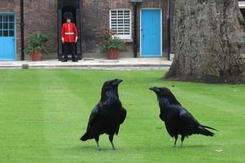 9. London Tower Ravens