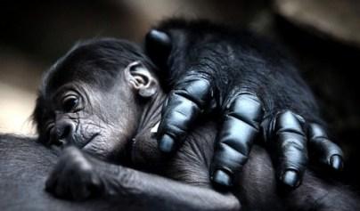 9. Matka Gorilla objala svoje dieťa
