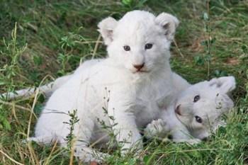 9. Mláďatá bieleho lva Najdrahšie domáce zvieratá