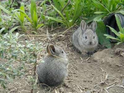 Najmenší králik Pygmy králik