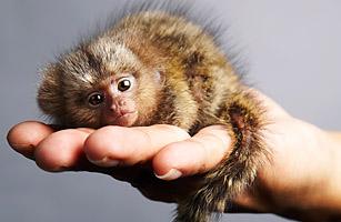 Najmenšia opica Pygmy Marmoset