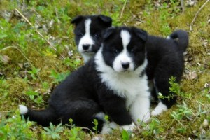 1. Karelský medvedí pes Jedinečné plemena psov