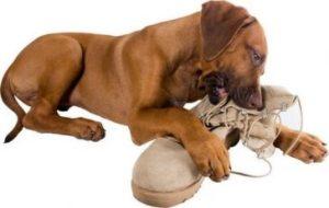 10. Žuvanie Zle správanie psa