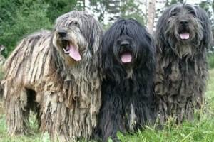 3. Bergamský ovčiak Jedinečné plemena psov