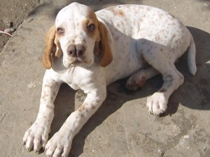6.-Turkish-pointer Jedinečné plemena psov