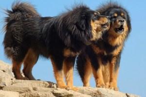 8. Tibetský mastif