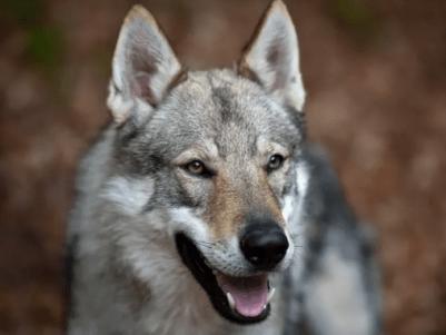 1. českosovensky vlčiak plemeno psa ako vlk