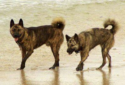 12. Ryukyu Inu japonske plemena psov