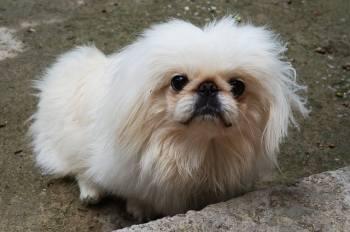 2. Pekinský palácový psík Plemena psov z Ázie