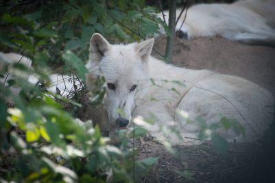 3.Vlk sibírsky najväčších vlkov na svete najväčši vlk