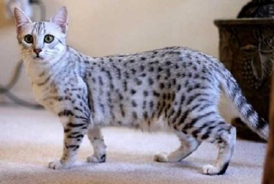 Najvzácnejšie mačky