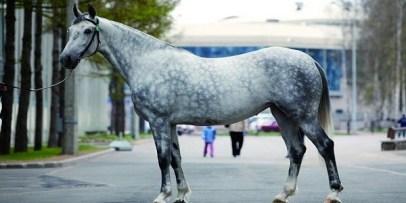 4.Orlovský klusák Najlepšie kone 10 najlepších plemien koní na svete . Najlepšie plemená koní na svete . Najlepšie kone zoznam plemien . Najlepšie plemena koní