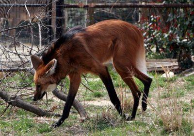 4.Vlk hrivnatý divý pes
