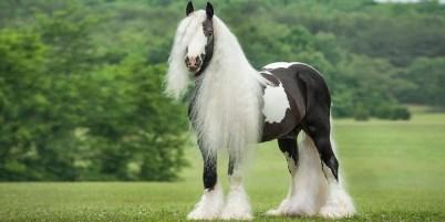6.Írsky cob (Gypsy horse) Najlepšie kone 10 najlepších plemien koní na svete . Najlepšie plemená koní na svete . Najlepšie kone zoznam plemien . Najlepšie plemena koní