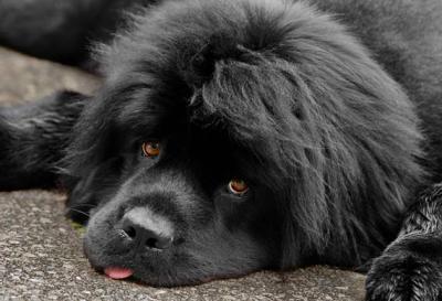 6. Novofunlandský pes Pes k deťom