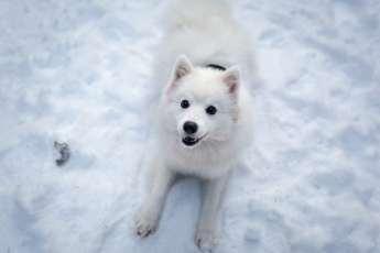 7.Japonský špic (Japanese Spitz) Plemena psov z Ázie