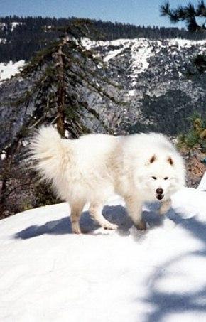 Samojed pes